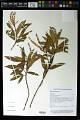 View Weinmannia affinis A. Gray digital asset number 0