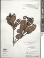 View Humiria balsamifera Aubl. var. balsamifera digital asset number 1