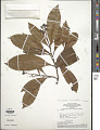 View Hebepetalum humiriifolium (Planch.) Benth. digital asset number 1