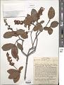View Byrsonima correifolia A. Juss. digital asset number 1