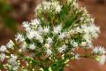 View Chromolaena glaberrima (DC.) R.M. King & H. Rob. digital asset number 0