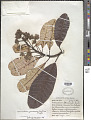 View Anacardium spruceanum Benth. ex Engl. digital asset number 1