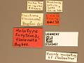 View Eurytoma flavovultus digital asset number 3