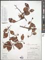 View Gymnosporia montana Benth. digital asset number 1