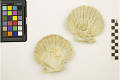 View Fossil Scallop, Scallop digital asset number 1