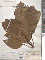 View Billia columbiana Planch. & Linden digital asset number 1