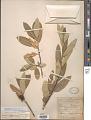 View Frangula californica subsp. tomentella (Benth.) Kartesz & Gandhi digital asset number 1