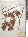 View Cissus trigona Willd. et al. digital asset number 1