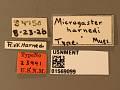 View Microgaster harnedi digital asset number 3