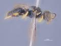 View Entomognathus junglanus Leclercq, 1997 digital asset number 1