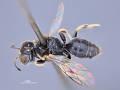 View Entomognathus junglanus Leclercq, 1997 digital asset number 2