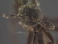 View Dipogon (Deuteragenia) sayi nigrior Townes, 1957 digital asset number 0