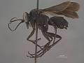View Pompilus (Hesperopompilus) jacintoensis Evans, 1948 digital asset number 1