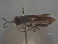 View Pompilus (Hesperopompilus) jacintoensis Evans, 1948 digital asset number 2