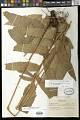 View Cyclodium meniscioides (Willd.) C. Presl digital asset number 0