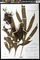 View Microsorum membranifolium (R. Br.) Ching digital asset number 1
