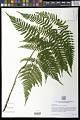 View Dryopteris erythrosora (D.C. Eaton) Kuntze digital asset number 1