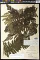 View Megalastrum atrogriseum (C. Chr.) A.R. Sm. & R.C. Moran digital asset number 1