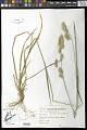 View Dactylis glomerata subsp. lobata digital asset number 0