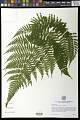 View Dryopteris erythrosora (D.C. Eaton) Kuntze digital asset number 0