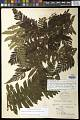 View Megalastrum atrogriseum (C. Chr.) A.R. Sm. & R.C. Moran digital asset number 0