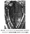View Balaenoptera omurai Wada et al., 2003 digital asset number 7