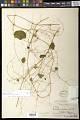 View Passiflora filipes Benth. digital asset number 0