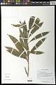 View Excoecaria glaucescens Scott-Elliot digital asset number 0