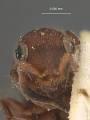 View Sulcomesitius bicolor digital asset number 0