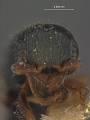 View Rhabdepyris (Lophepyris) bridwelli Evans, 1959 digital asset number 0