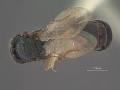 View Rhabdepyris (Lophepyris) bridwelli Evans, 1959 digital asset number 2