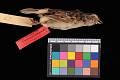 View Ammodramus humeralis xanthornus digital asset number 2