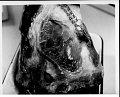 View Cephalorhynchus hectori (Van Beneden, 1881) digital asset number 9