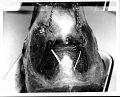View Cephalorhynchus hectori (Van Beneden, 1881) digital asset number 18