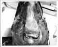 View Cephalorhynchus hectori (Van Beneden, 1881) digital asset number 39