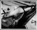 View Cephalorhynchus hectori (Van Beneden, 1881) digital asset number 41