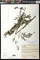 View Tagetes porophyllum Vell. digital asset number 0