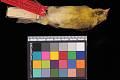 View Carduelis barbata digital asset number 0
