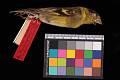 View Carduelis barbata digital asset number 2