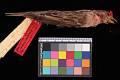 View Carpodacus cassinii Baird digital asset number 2