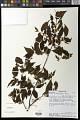 View Grewia triflora (Bojer) Walp. digital asset number 0