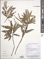 View Weinmannia affinis A. Gray digital asset number 1