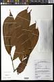 View Fusaea longifolia (Aubl.) Saff. digital asset number 0