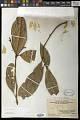 View Magnolia championii Benth. digital asset number 0