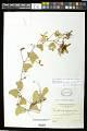 View Passiflora bicornis Houst. ex Mill. digital asset number 0
