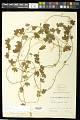 View Passiflora lancearia Mast. digital asset number 0