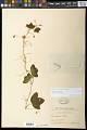 View Passiflora lutea L. digital asset number 0