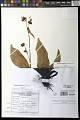 View Commelina rosulata Faden & Layton digital asset number 0