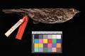 View Agelaius phoeniceus arctolegus Oberholser digital asset number 2
