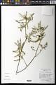 View Croton yecorensis V.W. Steinm. & Felger digital asset number 0